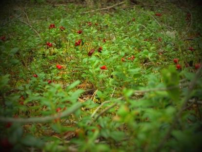 Toitlustaja võib julgelt kasutada kasvataja otse müüdud või kingitud puu- ja köögivilju ning marju. Sama kehtib metsamarjade ja seente kohta. Foto: Karit Kaasik
