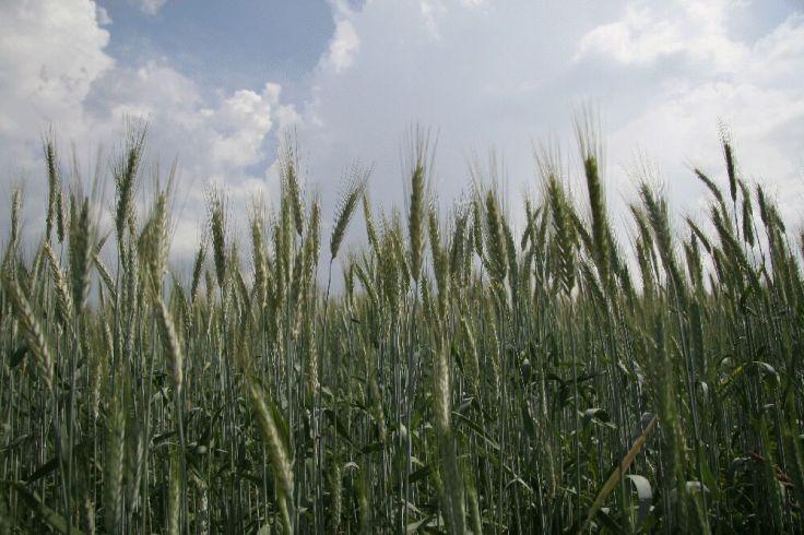 Teravili põllul