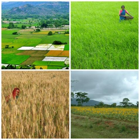 India põllud