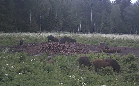 Surnud sigade leidudest teavitamine on äärmiselt oluline, et jälgida taudi leviku ulatust.
