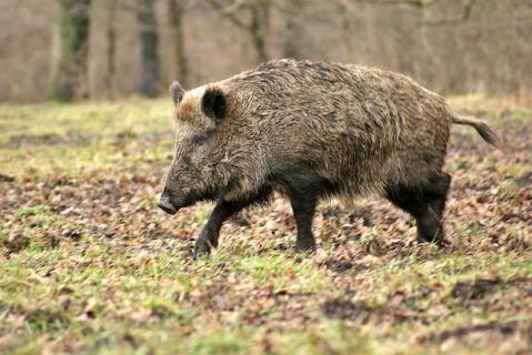 wild-boar-70420_640