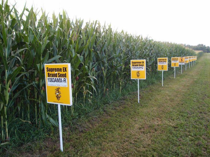 GMO maisi põld. Foto autor: Lindsay Eyink. Allikas: Wikipedia