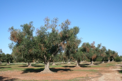 Xylella fastidiosa kahjustus Itaalia oliiviistanduses. Foto: Euroopa ja Vahemeremaade taimekaitseorganisatsiooni (EPPO) kahjustajate andmebaas.