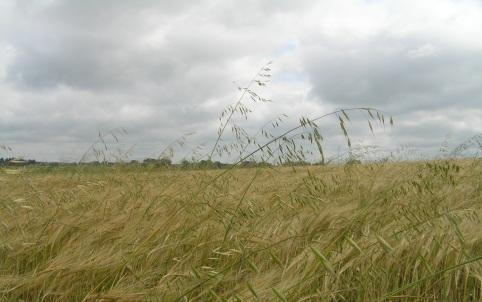 Tuulekaer konkureerib põllul kultuurtaimedega valguse, vee ja toitainete pärast, ise söödaväärtust omamata. Foto: Põllumajandusamet.