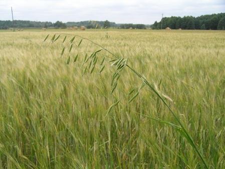 Tuulekaer on põllul kergesti äratuntav. Foto: Põllumajandusamet