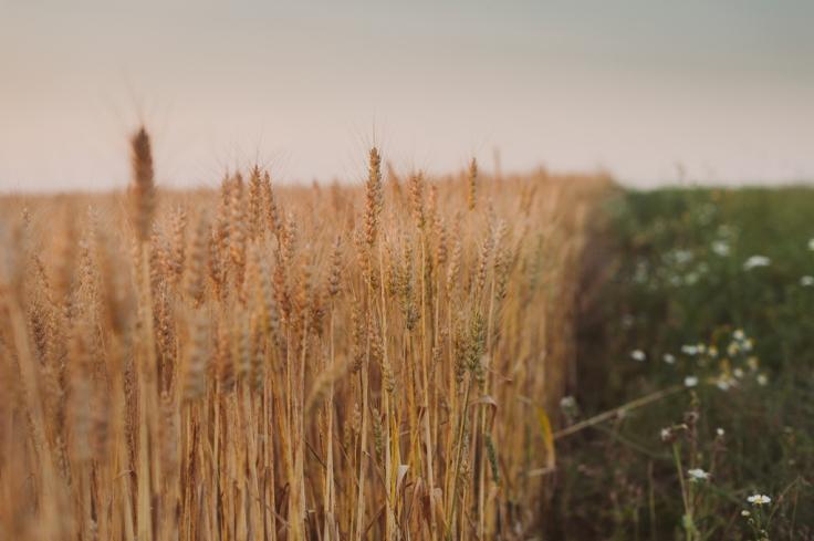 Raportist selgub, et enamikes maailma piirkondades on turud näiteks teravilja osas küllastunud ning seega teravilja nõudluse kasvule ja hinnatõusule panustamine üha riskantsem. Foto: K. Press