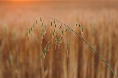 Tuulekaera tõrjumine on tõhus, kui tõrjet tehakse kompleksselt kogu põllumajandussektoris. Foto: K. Press