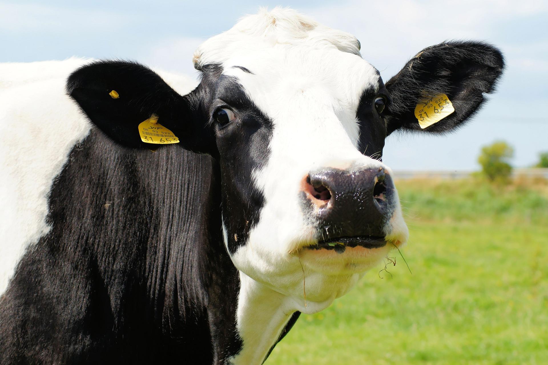cow-394148_1920