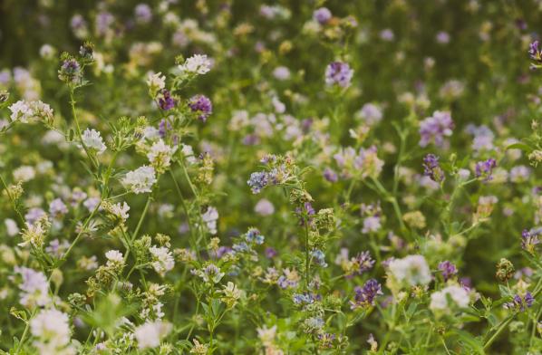 Õitsvad taimed heinamaal.