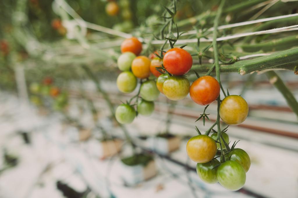 Kuhu istutada, kui tihti kasta, kuidas väetada ja kasvatada tomateid. Loe